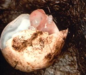Echidna uovo